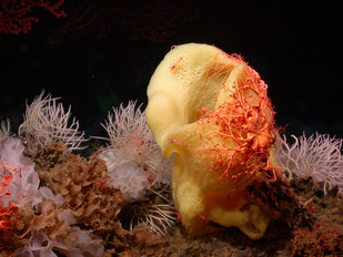 An orange basket star covers a Picasso sponge at Davidson Seamount, CA