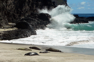 a_group_of_hawaiian_monk_seals_at_nihoa_island_med.jpg