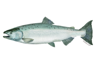 chinook-salmon.png