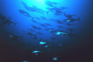 School of Atlantic bluefin tuna