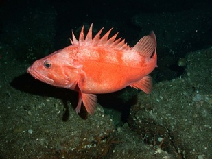 Southern California Cowcod