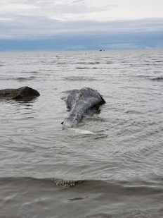 Dead gray whale at Clam Gulch, on the Kenai Peninsula in Alaska. Photo: Tim Clark, May 25, 2019