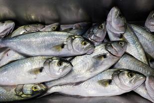 pile of bluefish