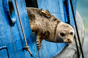 A harbor seal returning to the water after being tagged on a research vessel. Image credit: Dave Withrow. Permit number: 15126.
