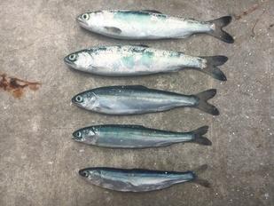 jevenile-salmon_all_species_4.jpg