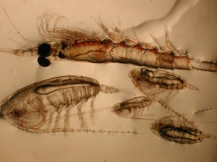 Crustacean zooplankton: Krill (top) and copepods (bottom).
