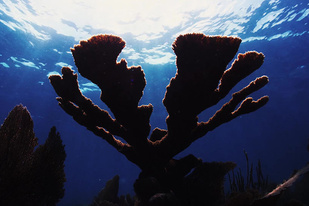 Underwater photo of an Elkhorn coral
