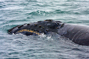 NP_right_whale_A Kennedy_PRIEST2009_Bering Sea.jpg