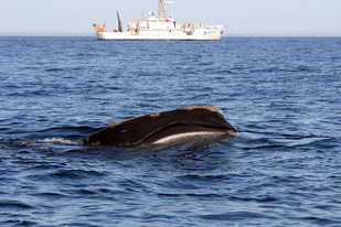 A North Atlantic right whale feeding with NOAA R/V Delaware II in the background. Credit: NOAA Fisheries/Lisa Conger.