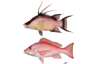 Illustration of red snapper and hogfish.