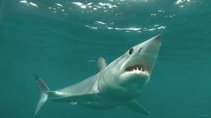 Photo of mako or blue shark
