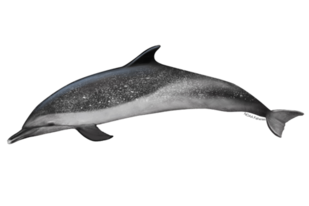 Pantropical spotted dolphin illustration