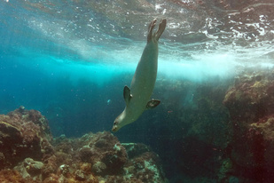 Hawaiian monk seal looking for fish underwater.