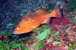Red grouper swimming
