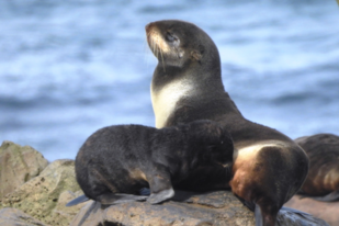 A northern fur seal mother cares for her pup between foraging trips.
