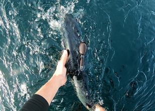Tagged salmon being released in waters off Greenland.