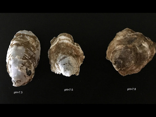 Different shaped oysters showing how pH impacts shells.  Right to left, pH=7.3, pH-7.5, pH=7.8