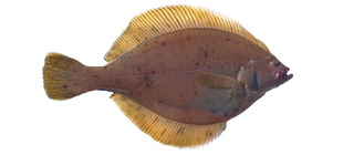 Yellowfin sole – Juvenile, 220 mm TL, Alaska Research