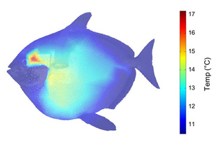 Internal body temperature profile of an opah. Photo credit: Wegner et al. 2015.