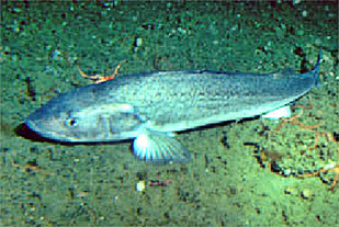 Adult sablefish as seen from submersible Delta.
