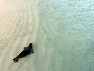 A young Hawaiian monk seal swims in the clear waters of the Kure Atoll in the Northwest Hawaiian Islands.