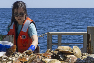 Scientist sorts sea scallops on a boat at sea