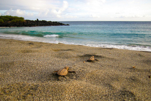 Two hawksbill sea turtle.