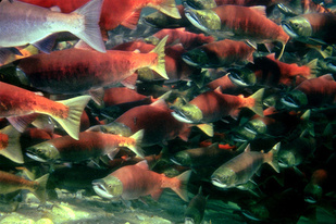 Sockeye Salmon in Chignik