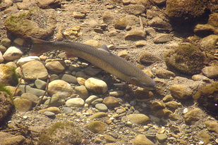 2019-05 southern CA steelhead in water 1320x907 credit USFWS.jpg