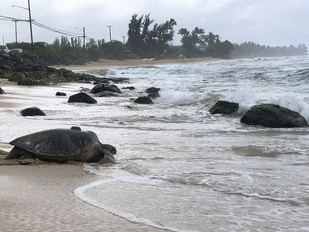Green sea turtle on beach with satellite tag on back.
