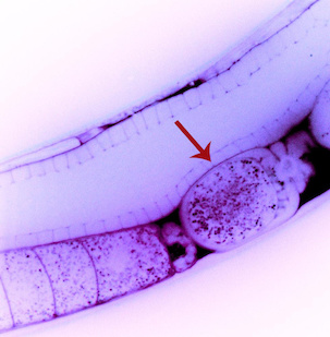 In this image of a roundworm (Caenorhabditis elegans), a recently fertilized egg cell (arrow) contains particles of double-stranded RNA (dsRNA, small magenta dots) that are capable of silencing specific genes. A new University of Maryland study shows, for the first time, that these dsRNA molecules pass directly from the parent worm's circulatory system to the egg, revealing a possible mechanism for non-genetic inheritance. Image credit: Antony Jose (Click image to download hi-res version.)