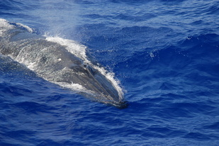 Bryde's whale in the Marianas (Photo: NOAA Fisheries/Adam Ü)