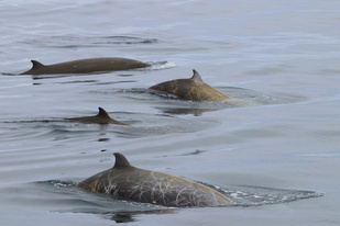 Four beaked whale backs visible at the surface.