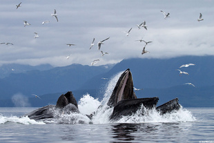 humpbacks-lunge-feeding-joe-mccabe.jpg