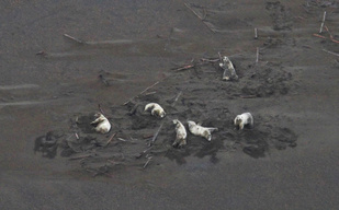 Six polar bears wallowing in the sand.