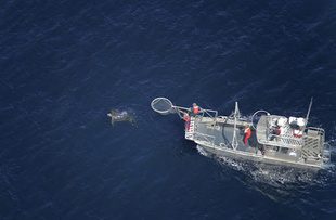 The research vessel gets in position to capture a leatherback off the coast of Monterey. Photo: NOAA Fisheries/ Joel Schumacher