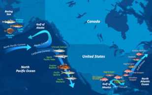 Map of North America and surrounding waters with major currents and images of 13 fish species arranged by regional habitat.