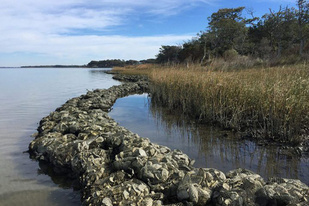 Bags of oysters line the edge of a marsh