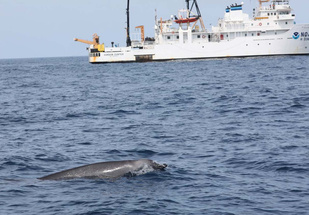beaked whale surfacing near NOAA Ship Gordon Gunter