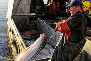 Commercial halibut fishing in Southeast Alaska.