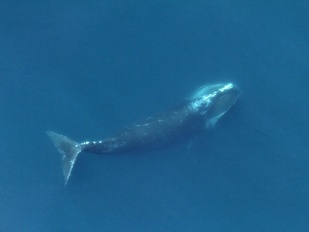 Right whale feeding in the ocean