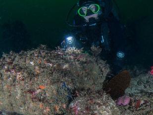 Diver examines abalone underwater