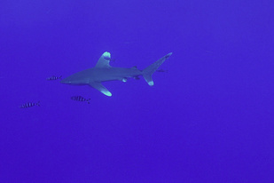 Ocean white tip shark swimming.