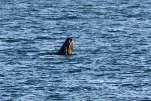 The tenth right whale calf of the season was seen off South Carolina. Credit: Scott Hartley/Clearwater Marine Aquarium.