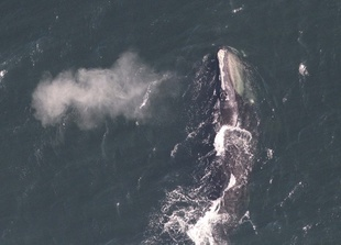 right-whale-blowing.jpg