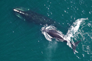 North Atlantic right whale mother and calf.