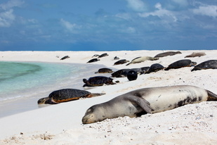 Hawaiian monk seals and green sea turtles rest on an atoll in French Frigate Shoals.