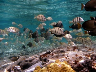 A school of manini and whitebar surgeonfish swimming through a coral reef. (Photo: NOAA Fisheries/Paula Ayotte)