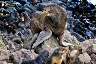 Northern Fur Seal, photo credit: Rod Towell