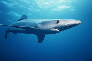 Blue shark swimming in ocean